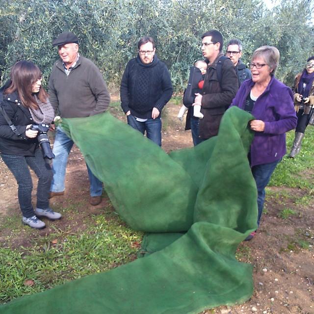 Recogida de aceitunas arbequinas en Ca Rosset (Foto: Donde Vamos, Eva)